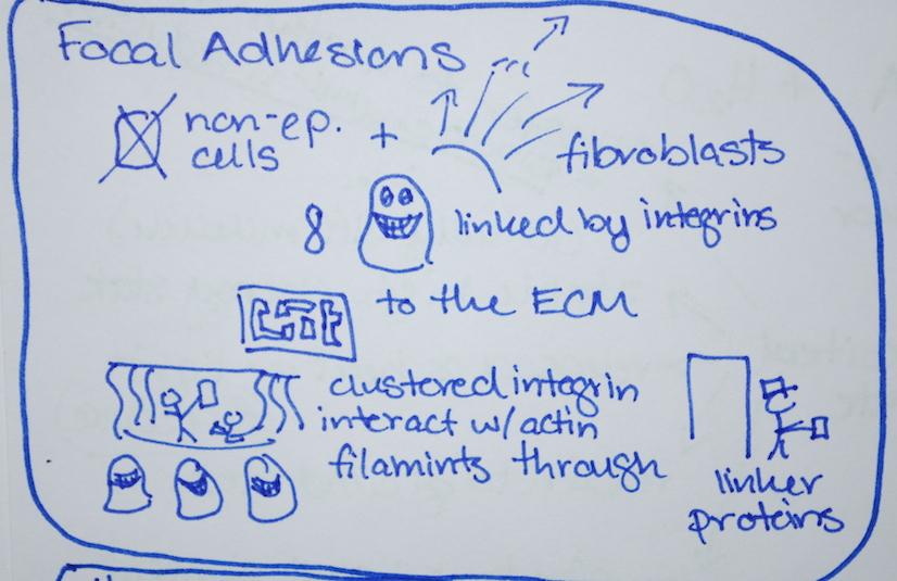 Focal Adhesions