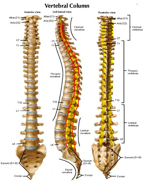 Articular Pillar Littleton Chiropractor
