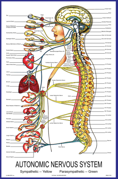 Autonomic Nervous System Chiropractor in Littleton