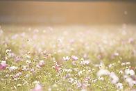 花のフィールド