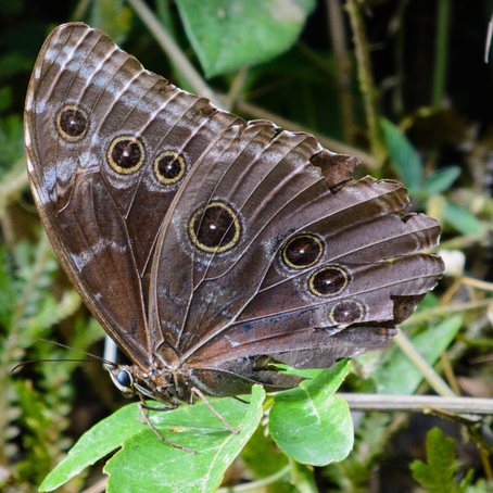 The Blue Morpho Isn't Really Blue!