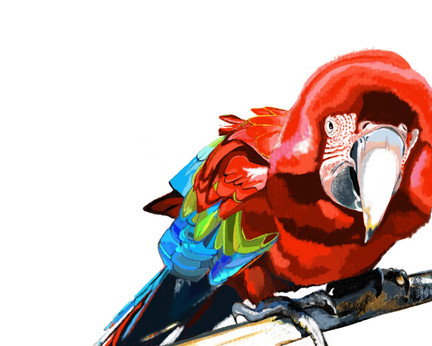 Big Red the macaw