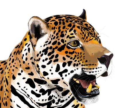 Sama the jaguar