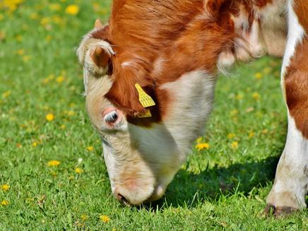 Alimentar gado com algas reduz emissões de gases de efeito estufa em 82%
