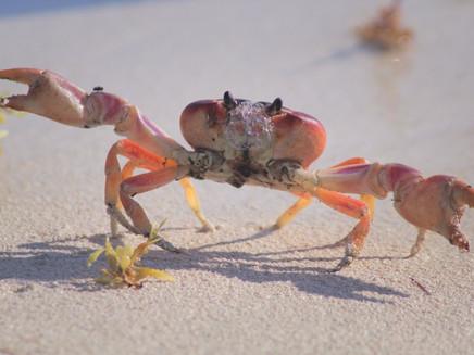 Experimento com caranguejos simula possíveis impactos das mudanças climáticas