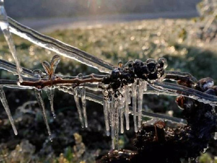 Geada danifica 80% de todos os vinhedos da França