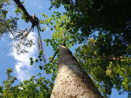 Aumento de CO2 na Amazônia pode ter impacto até maior que o do desmatamento na diminuição das chuvas