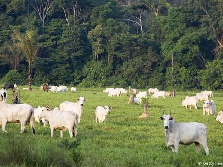 Brasil perdeu uma França de florestas para pastos desde 1985