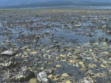 Onda de calor cozinha mariscos, mexilhões e outros moluscos vivos em praia do Canadá