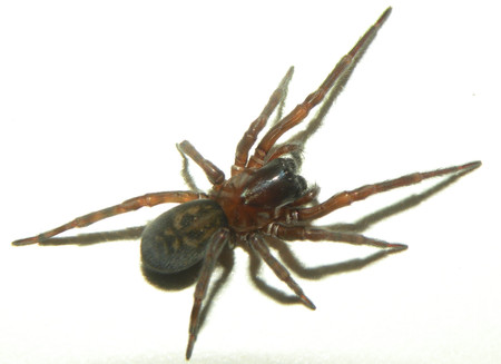 Amaurobius ferox.jpg