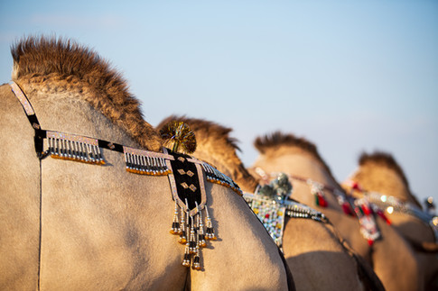 Camel Beauty Pageant