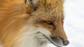 Räude - Füchse als Überträger