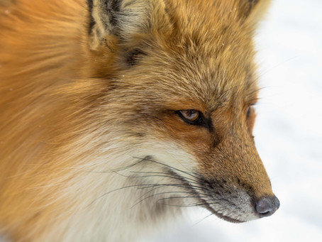 Sequenced fox genome hints at genetic basis of behavior