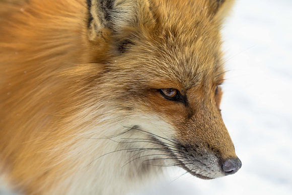 Red Fox Urine