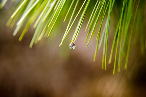 Water Drop in the Pines