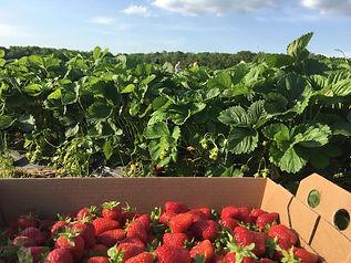 strawberry picking 2.jpg