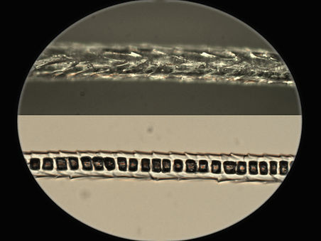 microscope view_fennec fox.jpg