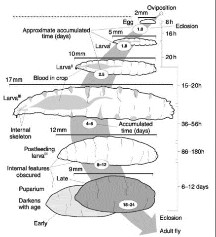 blow fly life cycle1.png