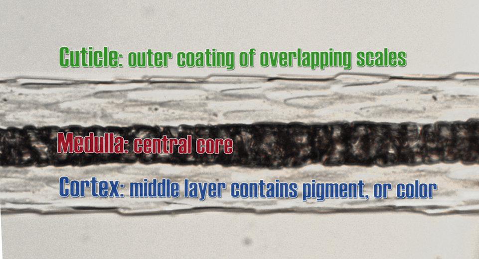 hair structure graphic_river otter4.jpg