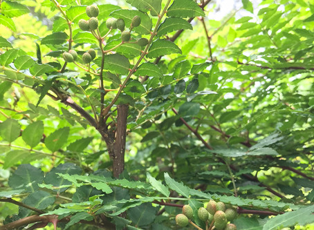 "Harvesting green pepper cones of ""Sansho"""