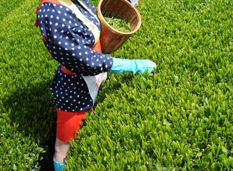 Green Tealeaves Picking