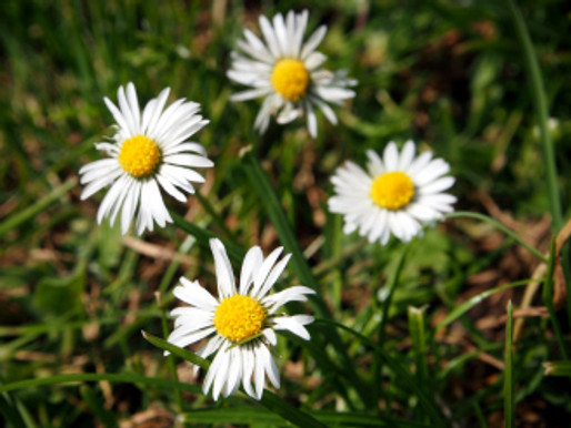 daisies in the park – Evie Blossom