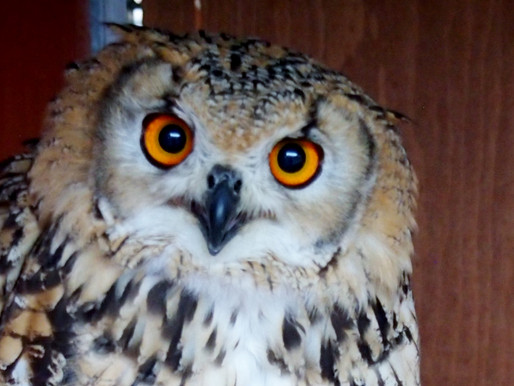 Gizmo the Wild Owl for Nuneaton and Warwickshire Wildlife Sanctuary and Wetnose Animal Aid