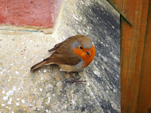 Mr Marcy the robin #love