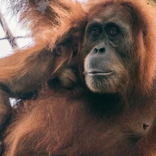 Sumatra-PBLI2210.jpg