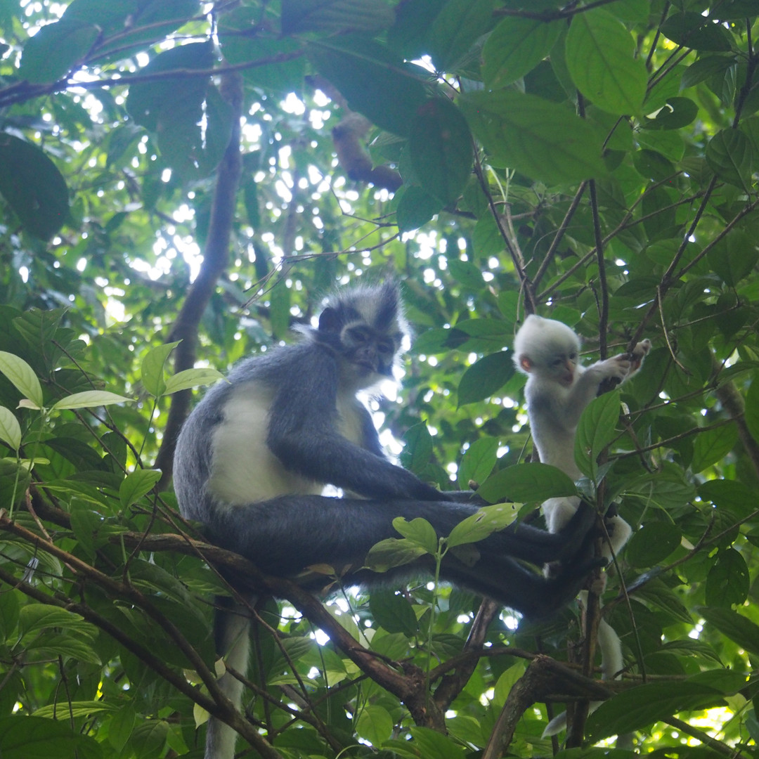 Thomas Leaf Monkey & its baby