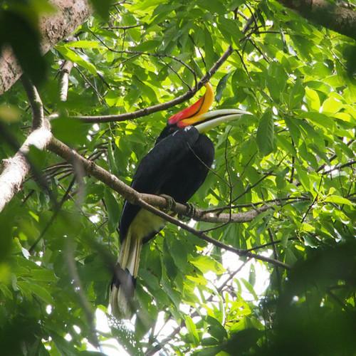Hornbill bird