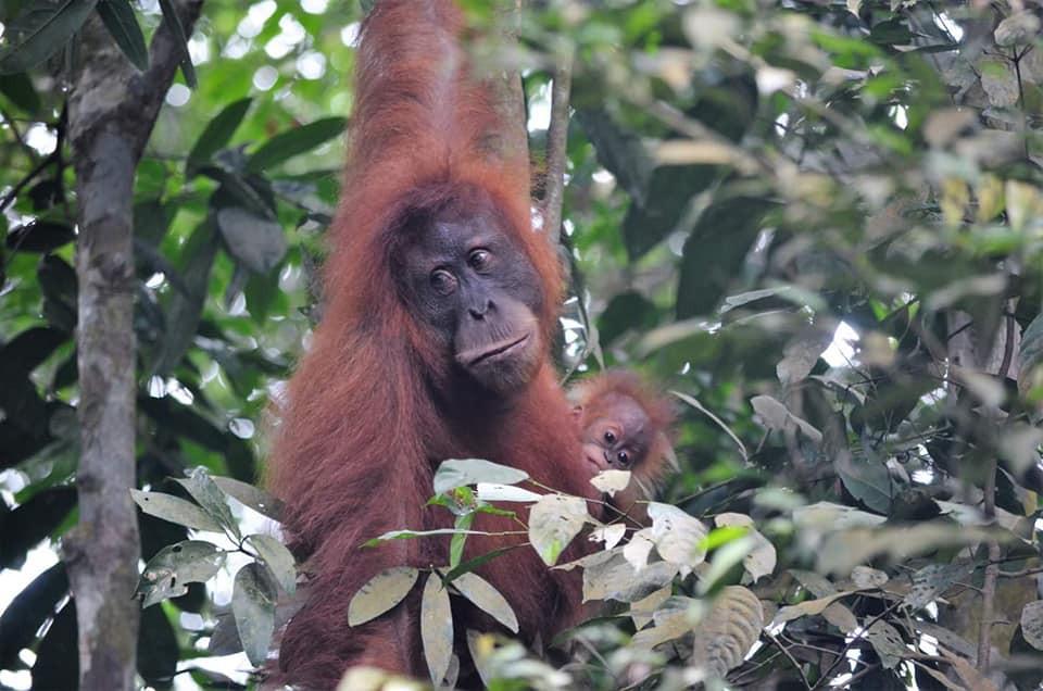 Female & Baby Orangutan