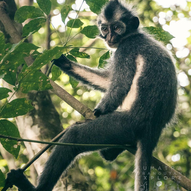 Sumatra-PBLI1641.jpg