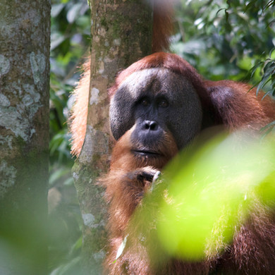 Male Orangutan
