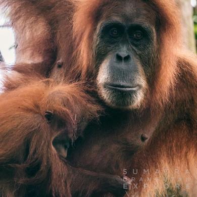 Sumatra-PBLI2206.jpg