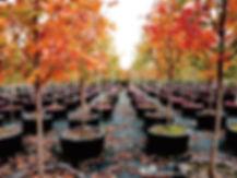 Acer saccharum.jpg