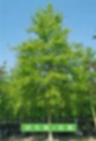 针栎.jpg