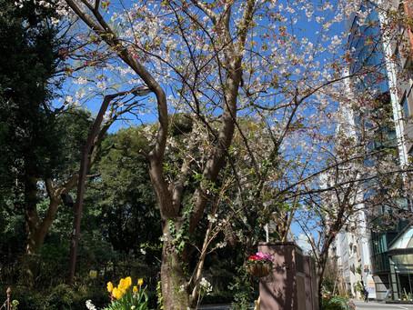 桜の花びら舞う季節