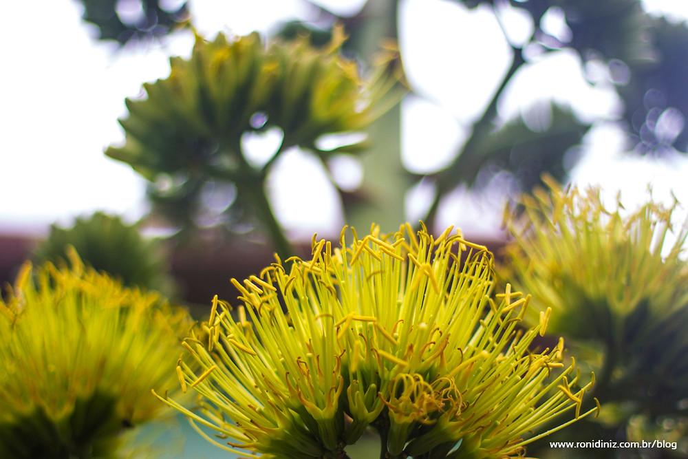 Flor da Agave Americana - Corpo Agave