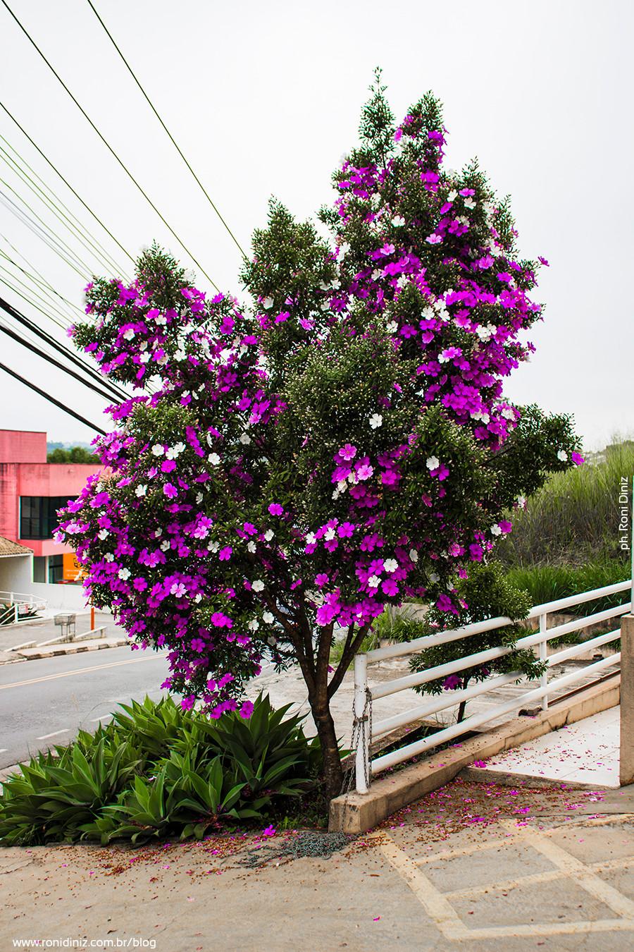 Pé de Manacá em Cotia - São Paulo