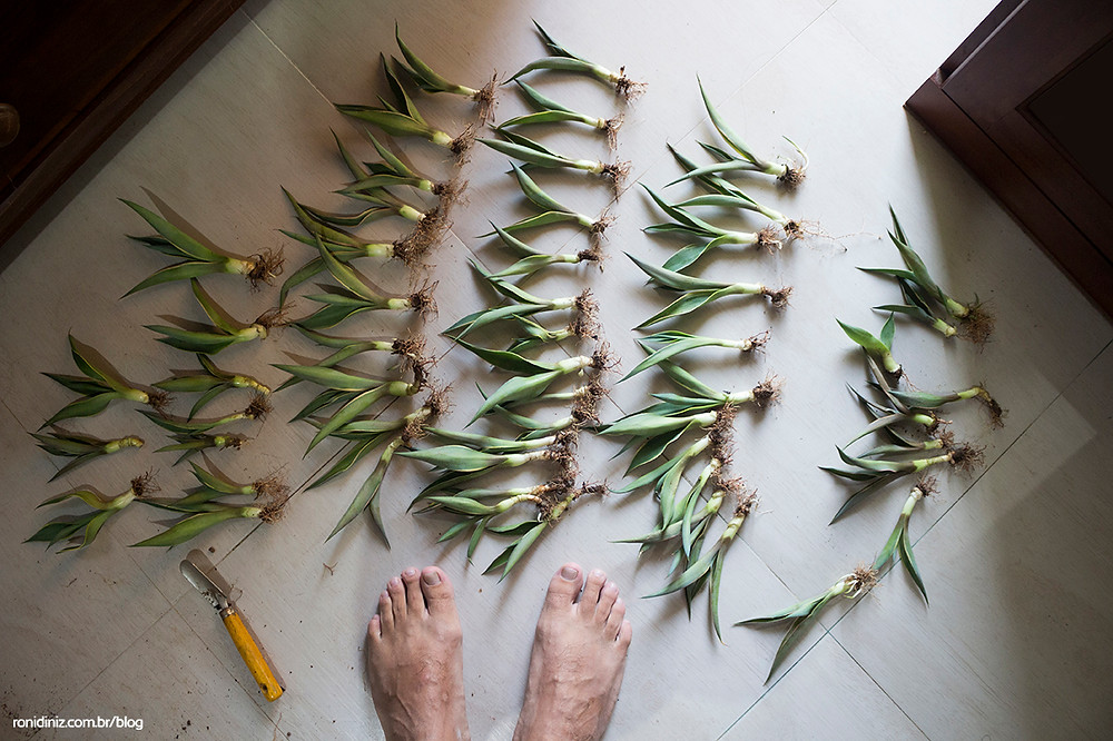 Mudas de Agave Americana doadas após o espetáculo. Para os astecas a planta é representada por uma Mãe com 400 seios em posição de parto.