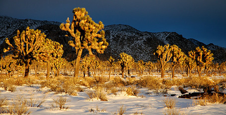 Joshua Tree Snow