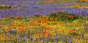 Cali Wildflowers