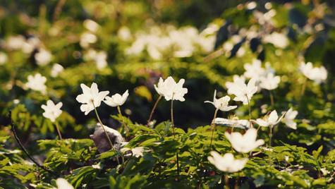 Forest anemones, Belgium, 2020
