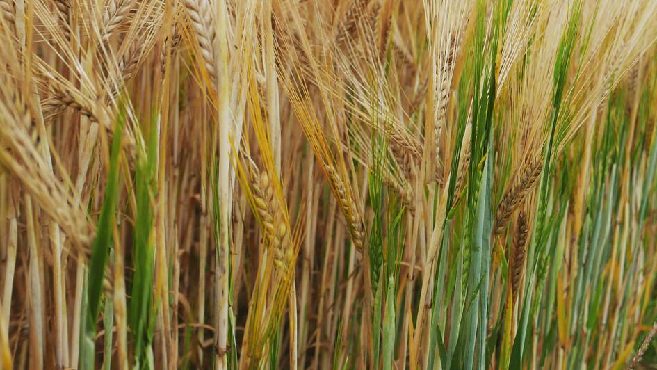 wheatfield, Belgium, 2020