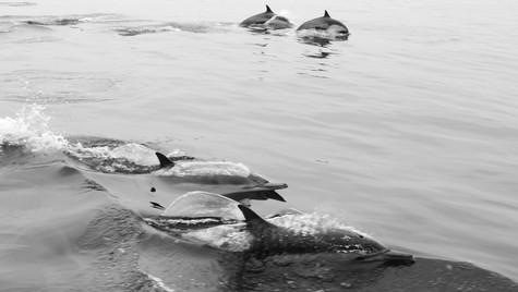 Dolphins, Santa Barbara, CA, 2019