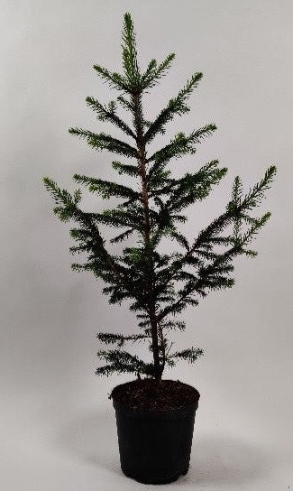 Økologisk rødgran 60 - 80 cm.
