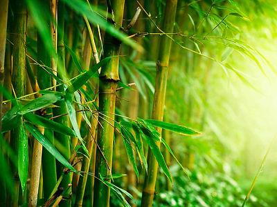 BAMBOO TREES WEB.jpg