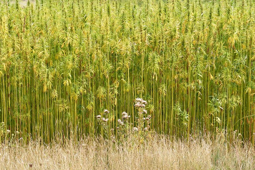 Hemp growing in Walpole courtsey of Wikipedia
