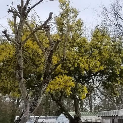Mimosas 1 (1).jpg